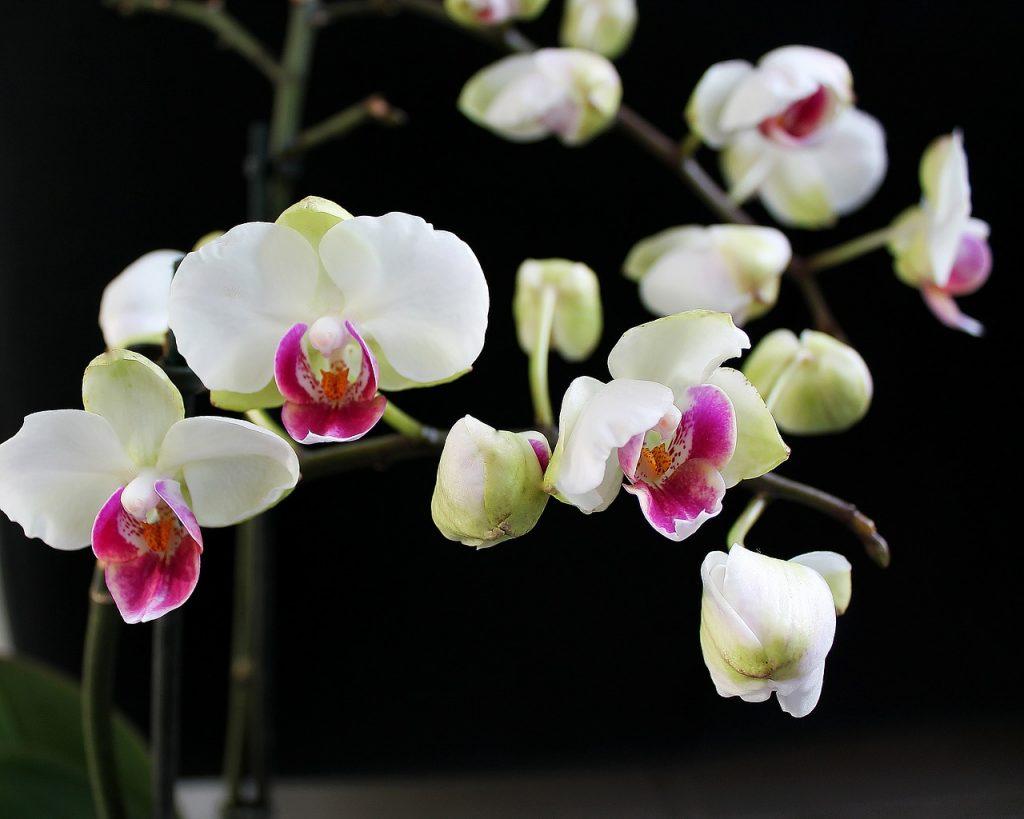 mor renk orkide sevgiliye verilir mi?