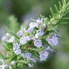 biberiye bitkisinin faydaları nelerdir?