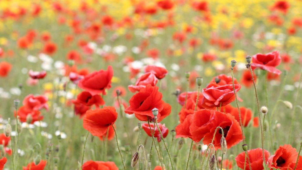 gelincik çiçekleri nasıl bakılır?