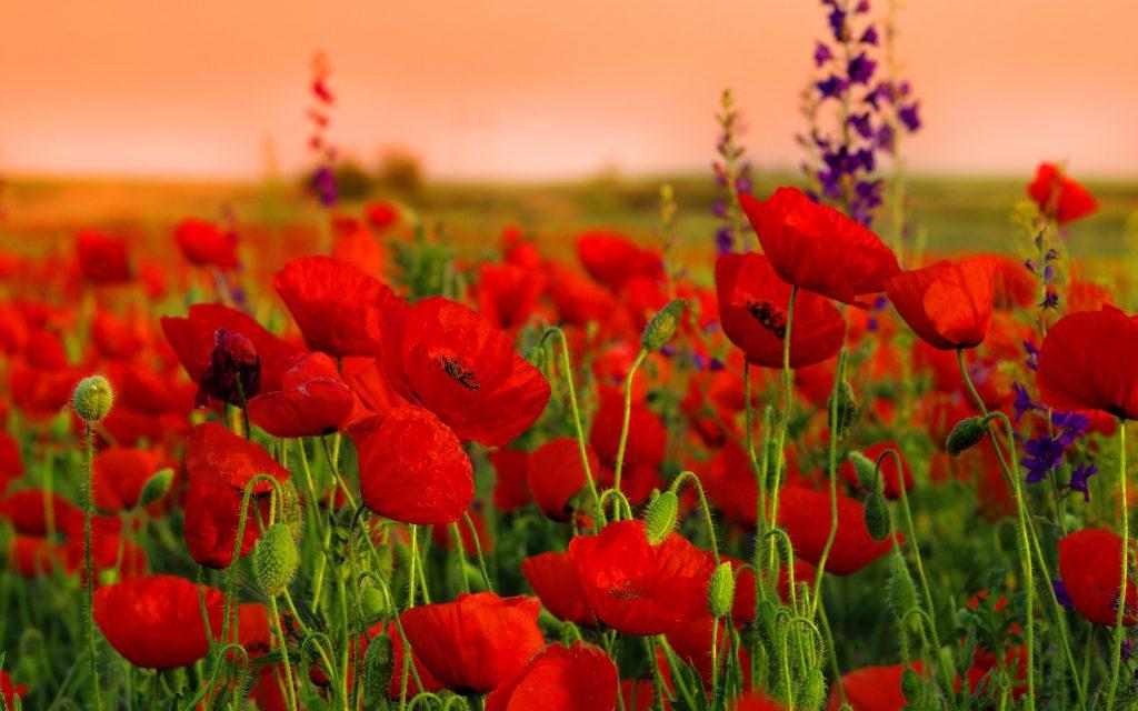 Gelincik çiçekleri hakkında