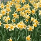 Nergis çiçeği bakımı nasıl yapılır?