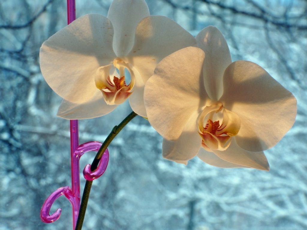 Kışın Orkide Bakımı Nasıl Olmalıdır?