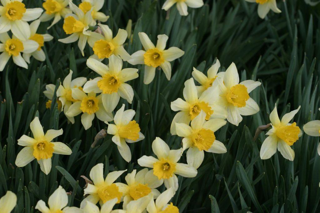 nergis çiçekleri