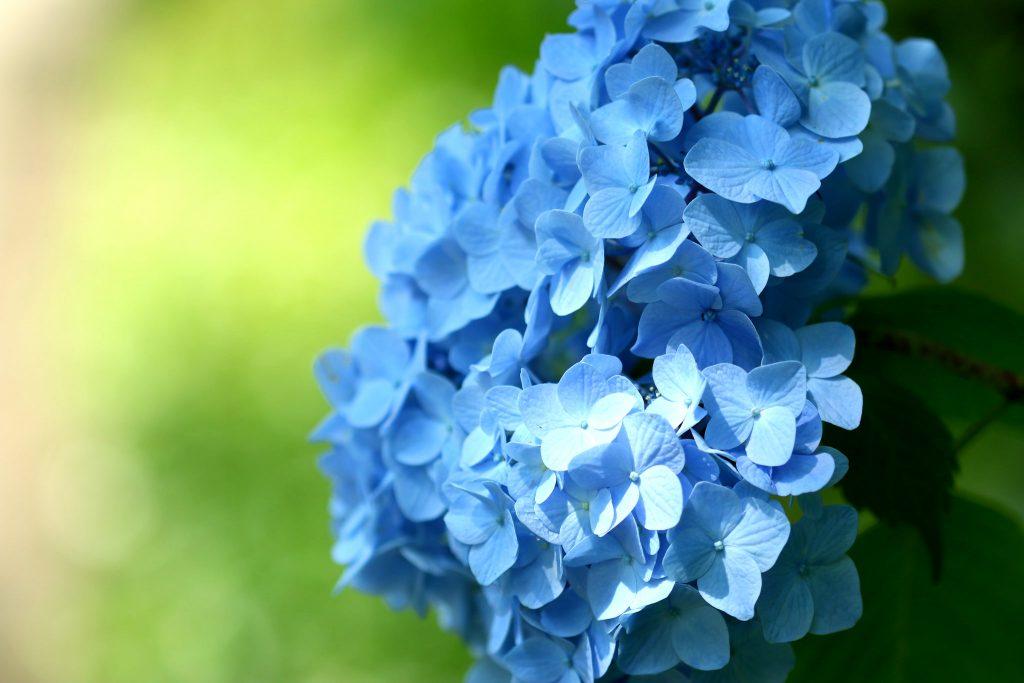 ortanca çiçekleri nasıl gübrelenir?