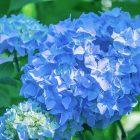 ortanca çiçeği hakkında bilgiler