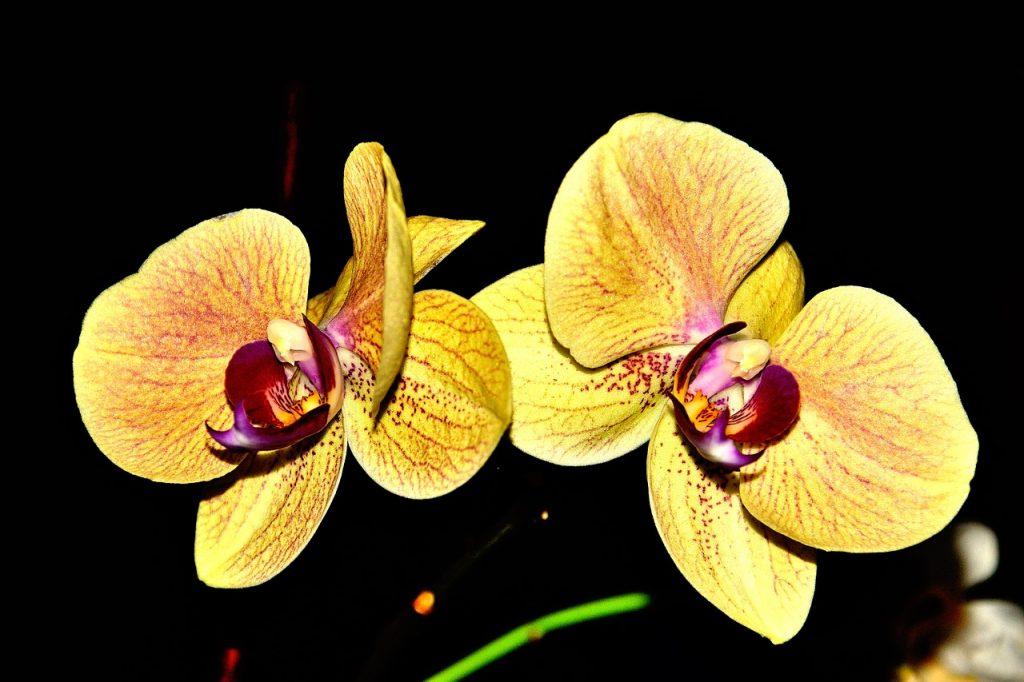 sarı renkli orkide sevgiliye verilir mi?