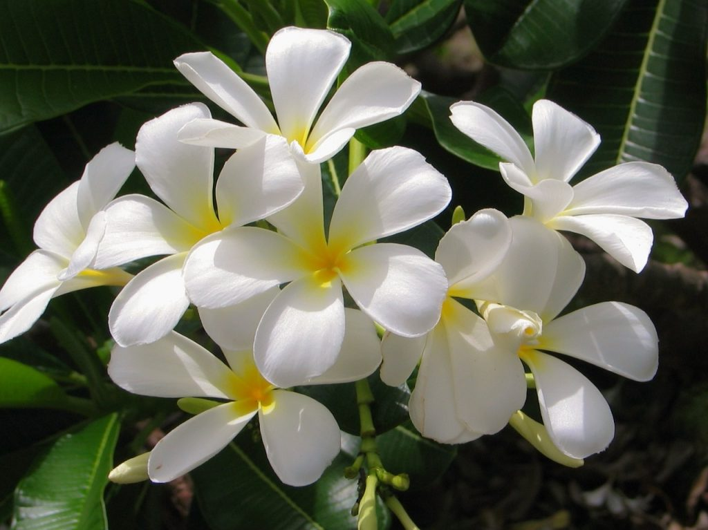 Yasemin Çiçeği Nasıl Bir Çiçektir?